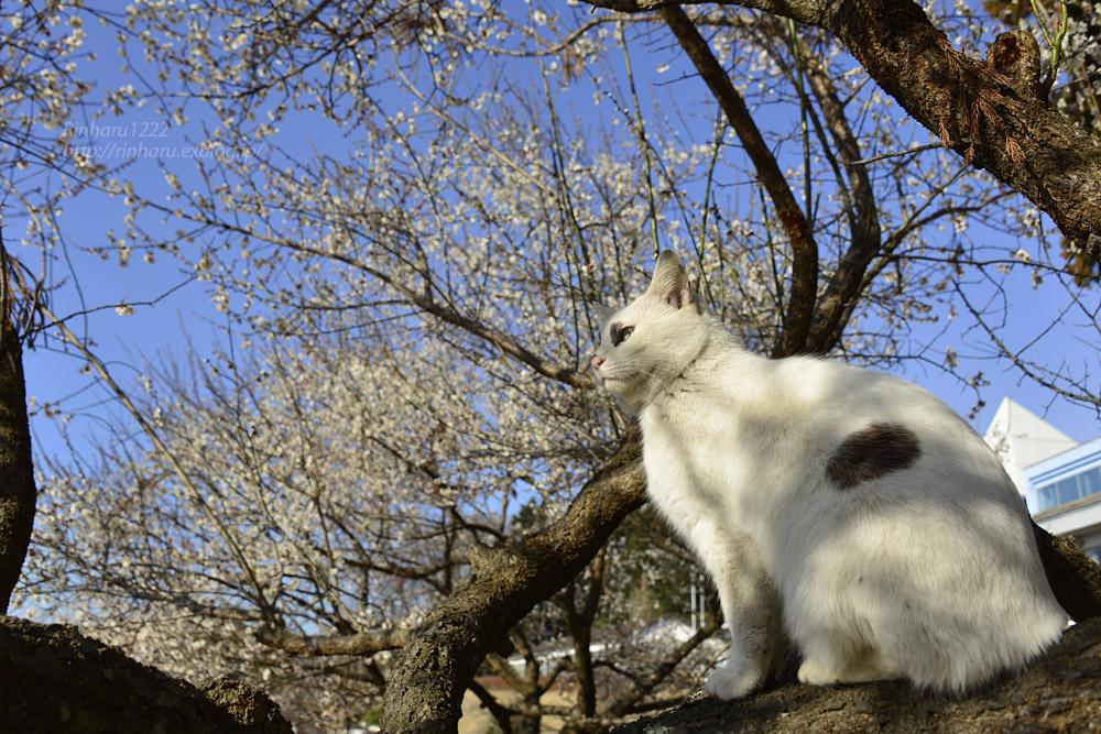 2019.3.10 観梅会☆梅猫モデルは、くぅちゃん♪_f0250322_20295886.jpg