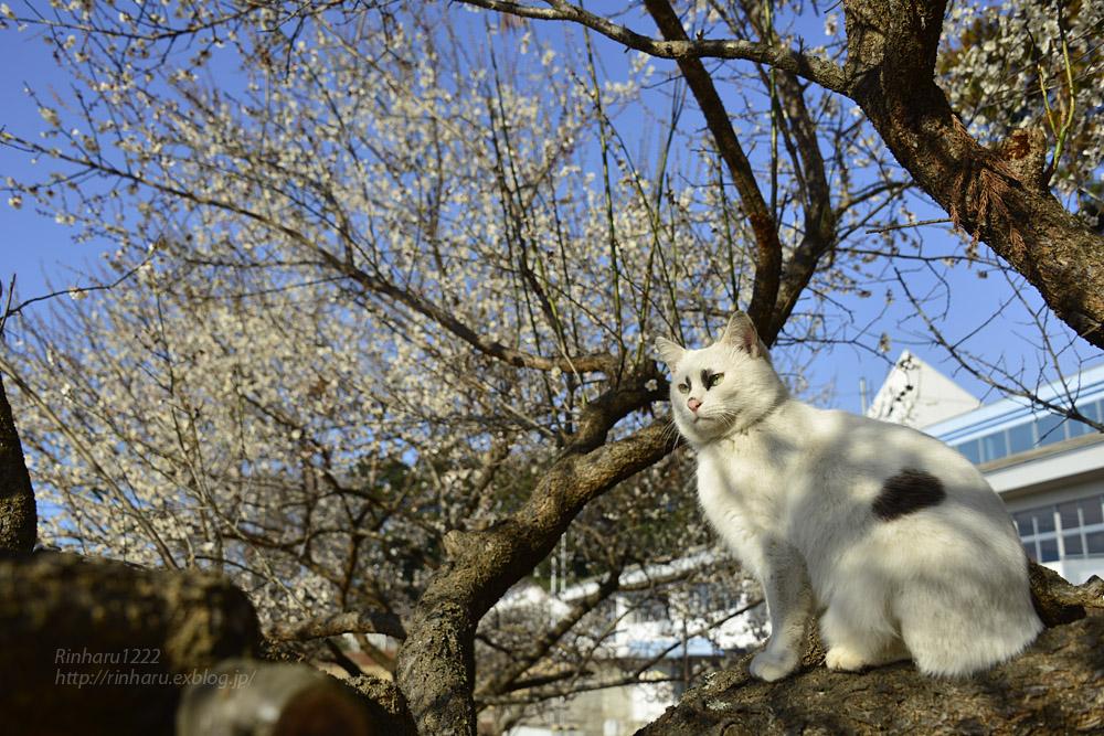 2019.3.10 観梅会☆梅猫モデルは、くぅちゃん♪_f0250322_20301021.jpg