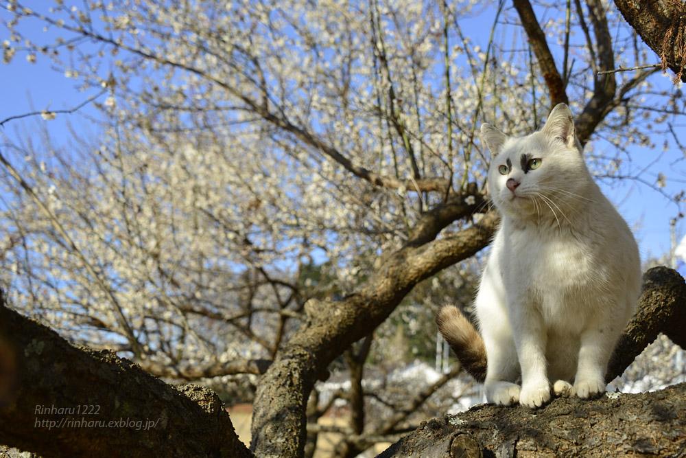 2019.3.10 観梅会☆梅猫モデルは、くぅちゃん♪_f0250322_20301499.jpg