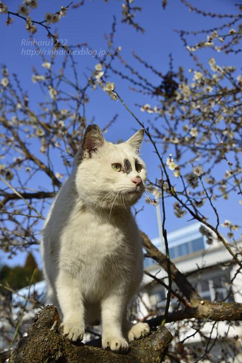 2019.3.10 観梅会☆梅猫モデルは、くぅちゃん♪_f0250322_203031100.jpg