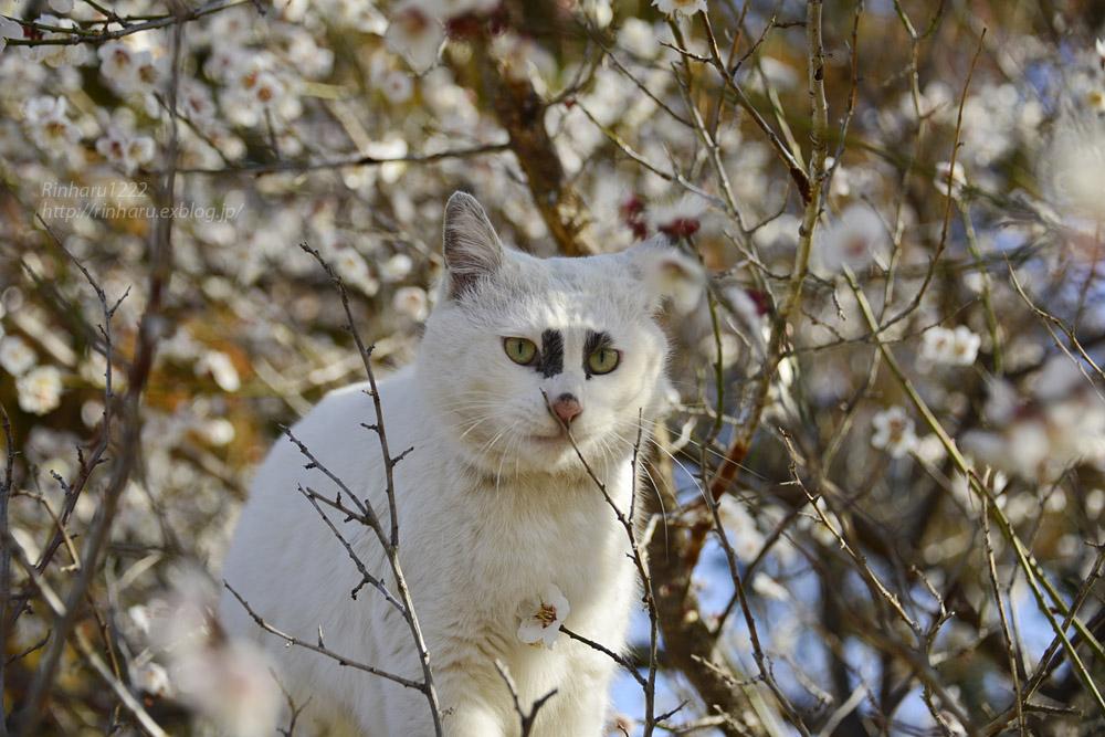 2019.3.10 観梅会☆梅猫モデルは、くぅちゃん♪_f0250322_20304085.jpg