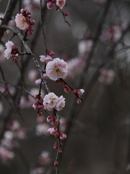 梅とジョウビタキ_a0351368_23263978.jpg