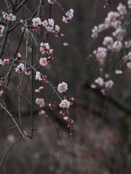 梅とジョウビタキ_a0351368_23264088.jpg