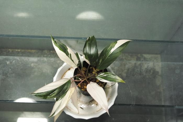 "Homalomena sp. \'Variegatus\' \""Sibu Sarawak\""_a0194582_16002299.jpg"