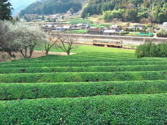 名松線と梅_f0266284_17343545.jpg