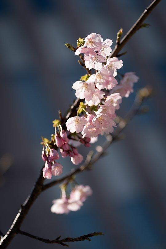桜で彩られたダウンタウン_d0353489_00224425.jpg
