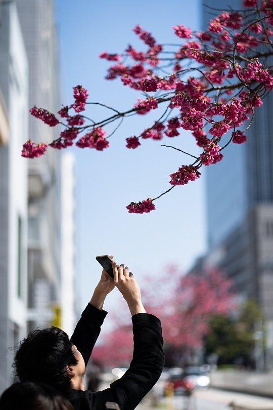 桜で彩られたダウンタウン_d0353489_00224878.jpg
