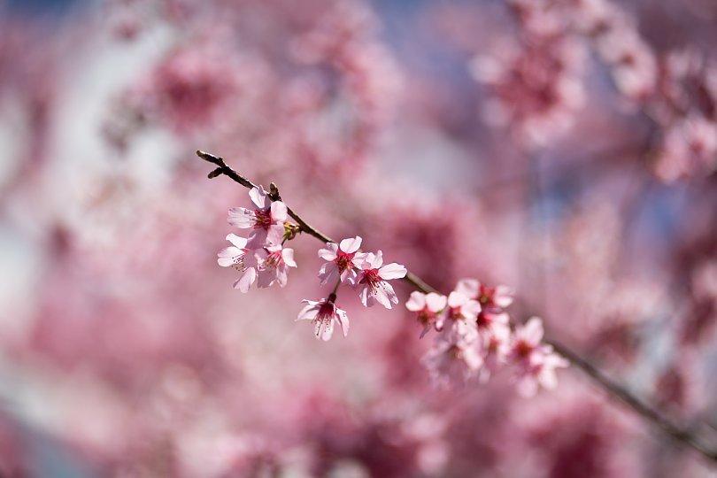 桜で彩られたダウンタウン_d0353489_00235958.jpg