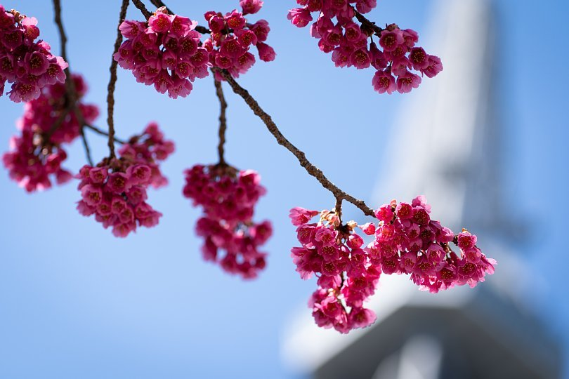 桜で彩られたダウンタウン_d0353489_00252258.jpg