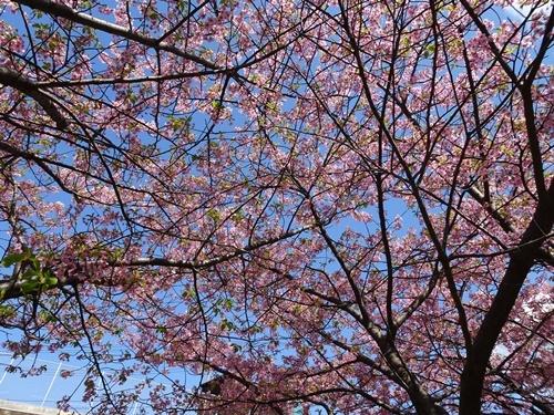 三浦海岸へお花見と、ウォーキング_c0051105_20453985.jpg