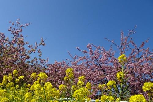 三浦海岸へお花見と、ウォーキング_c0051105_20503438.jpg