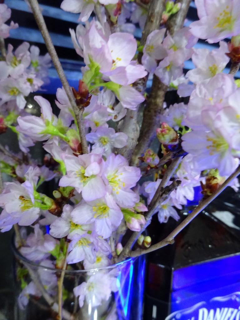 室内鑑賞用桜 2019_d0061678_18570792.jpg