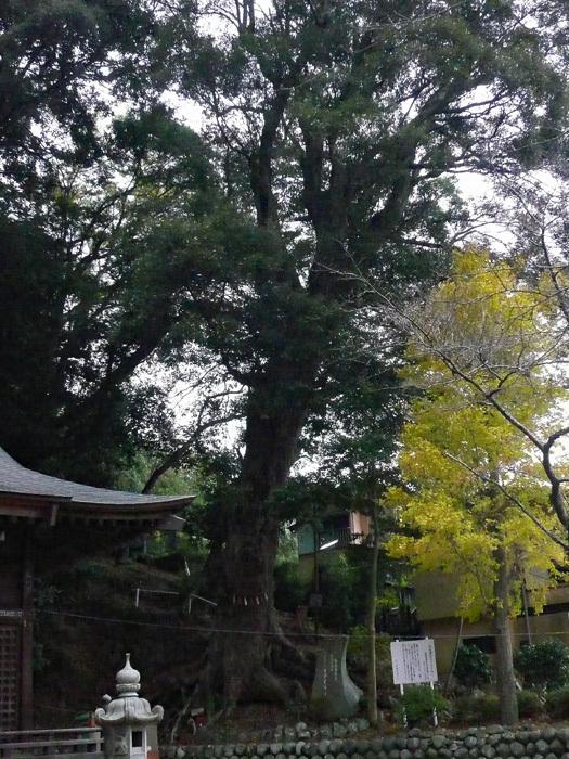 巨樹01_日枝神社のイチイガシ_d0016587_15461810.jpg