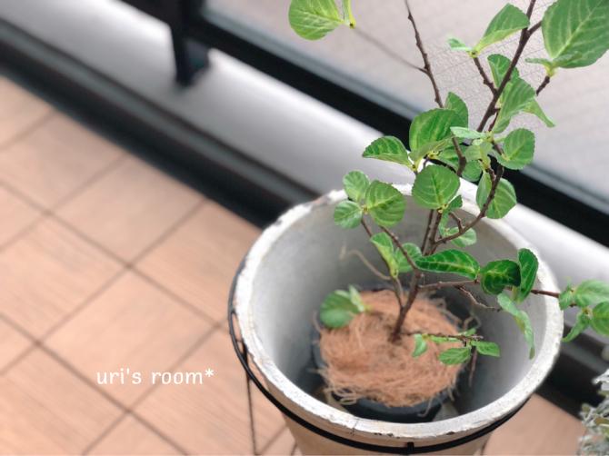 素敵な鉢を買いました。ウンベラータが喜んでる(´∀`)_a0341288_21463121.jpg
