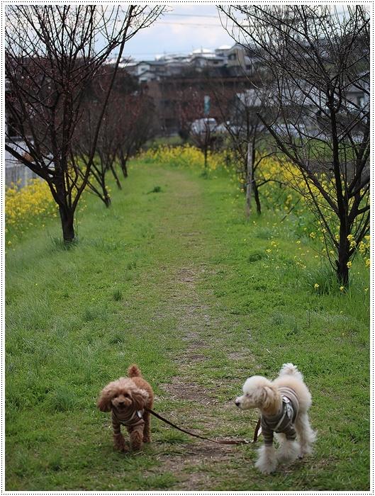 いつもは気が合わないさくらと大だけど、散歩のときのスンスンだけは気が合うね、何話してんだろう?_b0175688_08332941.jpg