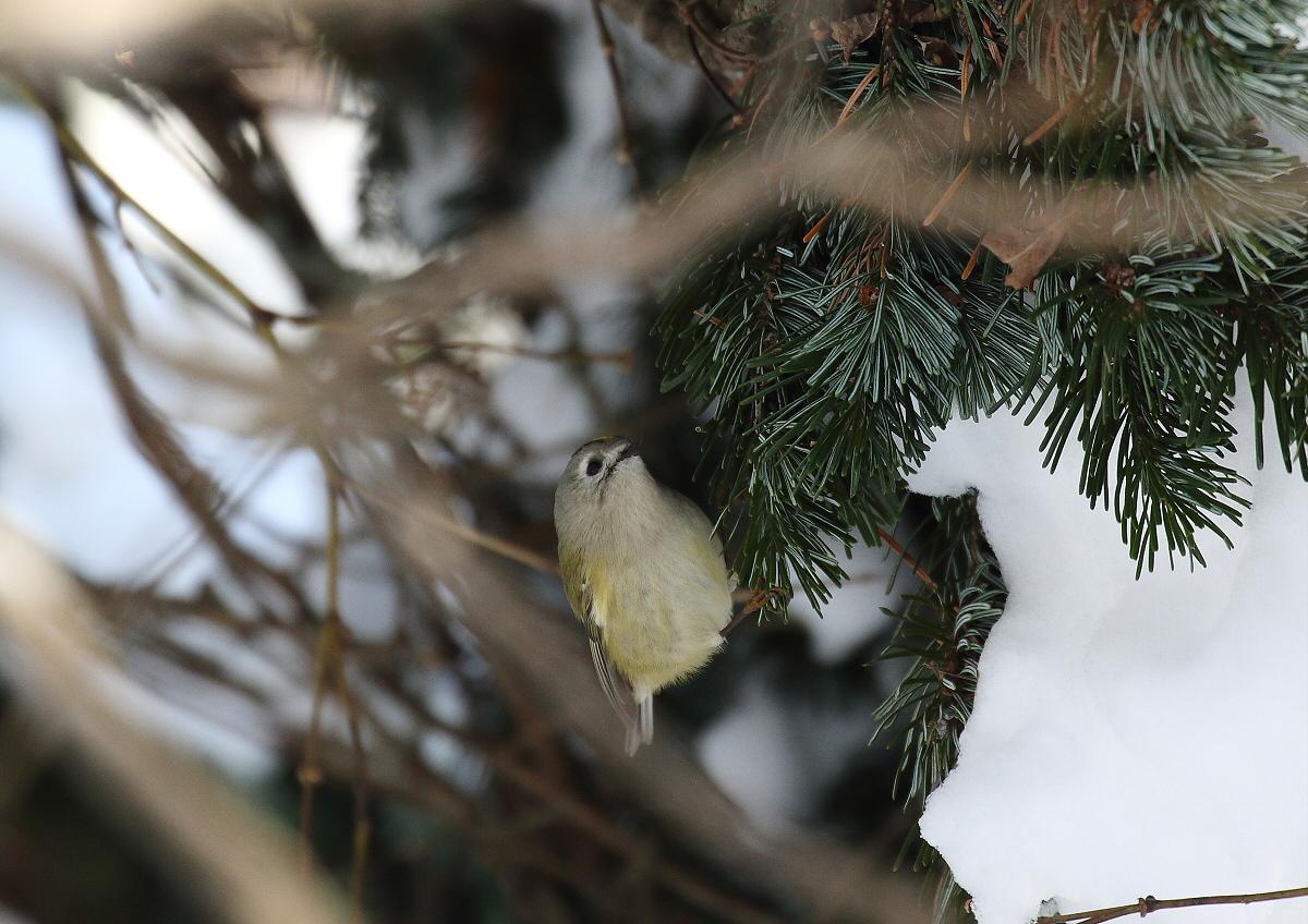 枝の間から・・キクちゃん_c0113597_12394085.jpg