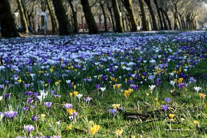 クロッカスが咲き乱れ_a0153807_02264568.jpg
