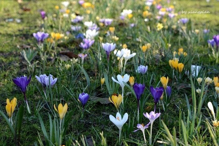 クロッカスが咲き乱れ_a0153807_02275810.jpg