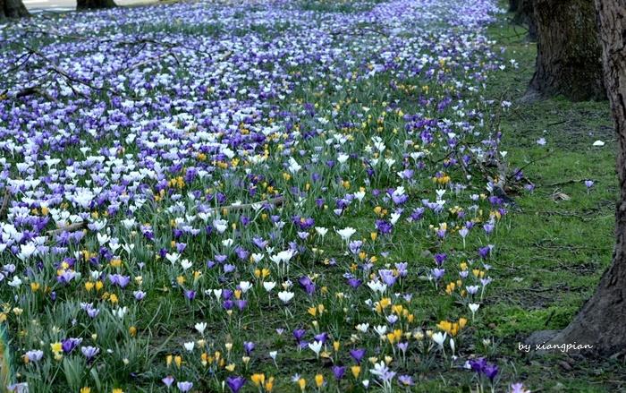 クロッカスが咲き乱れ_a0153807_02290167.jpg