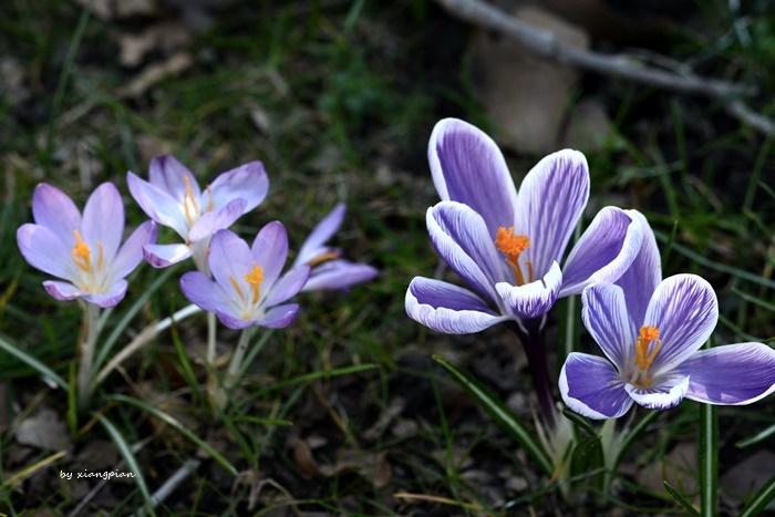 クロッカスが咲き乱れ_a0153807_02301780.jpg