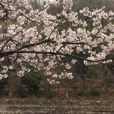 待ち遠しい桜の季節_a0153515_13152109.jpg