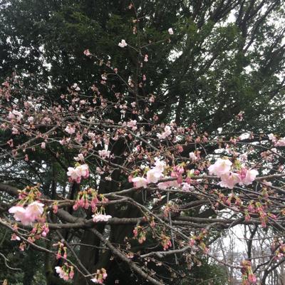 待ち遠しい桜の季節_a0153515_13152175.jpg