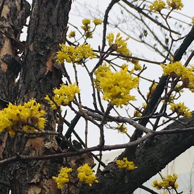 待ち遠しい桜の季節_a0153515_13183770.jpg