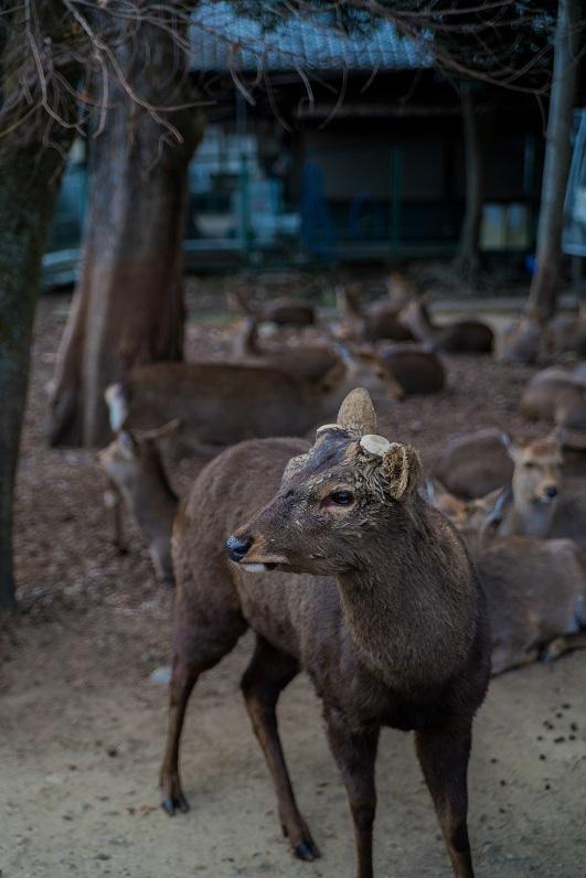 奈良の鹿_e0363038_10194216.jpg
