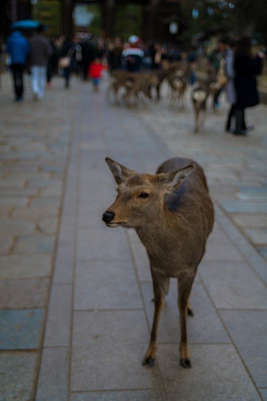 奈良の鹿_e0363038_10194634.jpg
