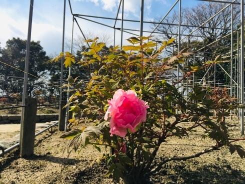 ワクワクの春 発見!!桜~開花一号_d0082356_16400409.jpg