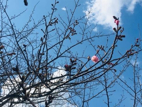 ワクワクの春 発見!!桜~開花一号_d0082356_16405205.jpg