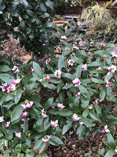 「沈丁花」「「姫リュウキンカ」「ヒヤシンス」植えっぱなしで春の訪れを教えてくれます_a0243064_07595322.jpg
