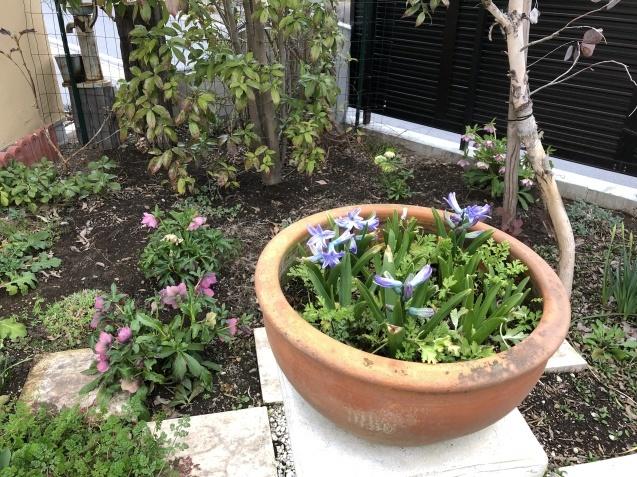 「沈丁花」「「姫リュウキンカ」「ヒヤシンス」植えっぱなしで春の訪れを教えてくれます_a0243064_08053850.jpg