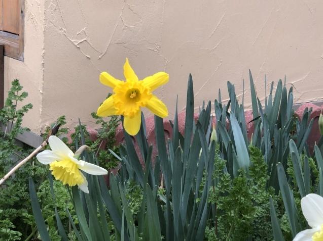 「沈丁花」「「姫リュウキンカ」「ヒヤシンス」植えっぱなしで春の訪れを教えてくれます_a0243064_08094197.jpg