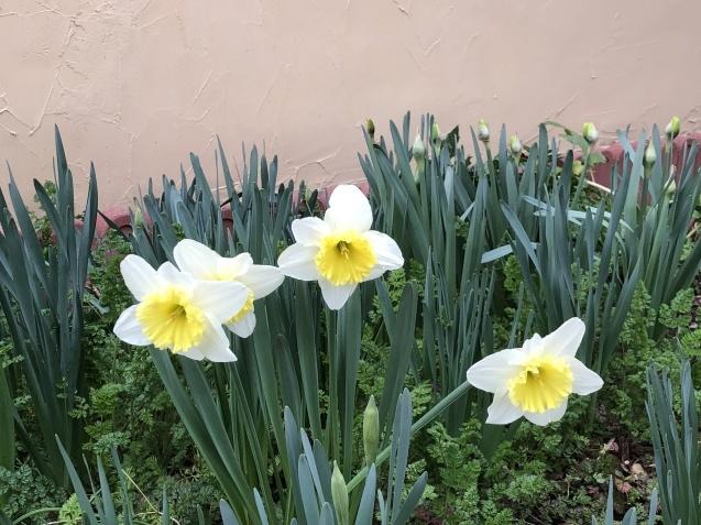 「沈丁花」「「姫リュウキンカ」「ヒヤシンス」植えっぱなしで春の訪れを教えてくれます_a0243064_08100086.jpg