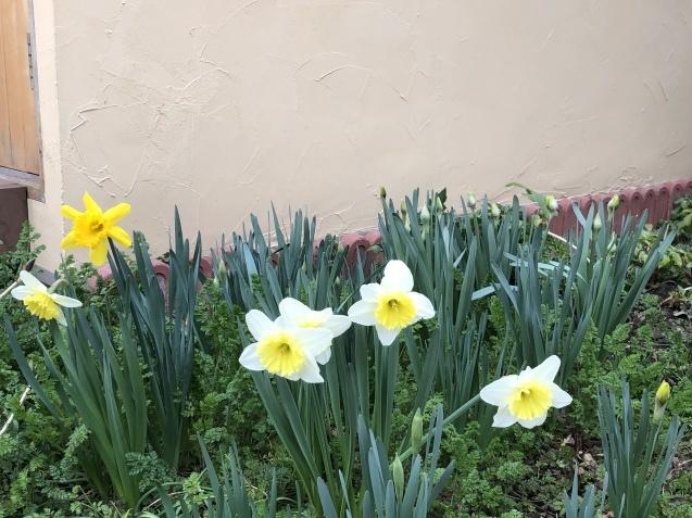 「沈丁花」「「姫リュウキンカ」「ヒヤシンス」植えっぱなしで春の訪れを教えてくれます_a0243064_08102966.jpg