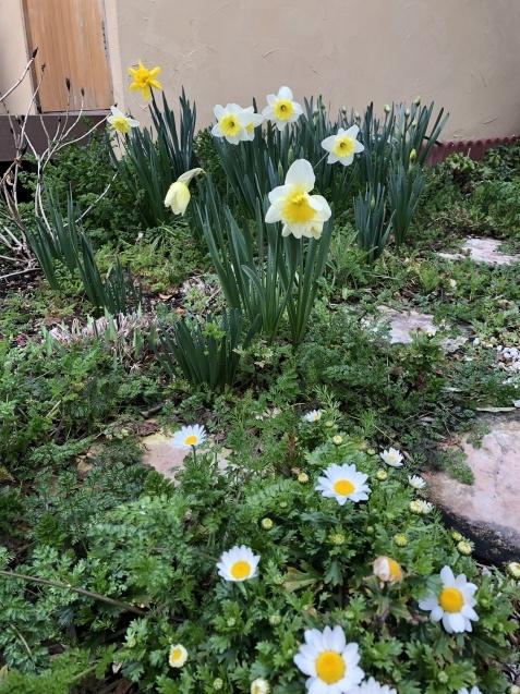 「沈丁花」「「姫リュウキンカ」「ヒヤシンス」植えっぱなしで春の訪れを教えてくれます_a0243064_08125969.jpg