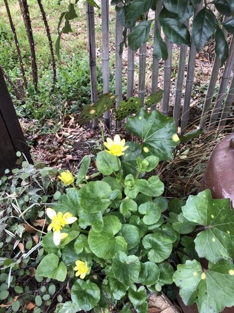 「沈丁花」「「姫リュウキンカ」「ヒヤシンス」植えっぱなしで春の訪れを教えてくれます_a0243064_08191257.jpg