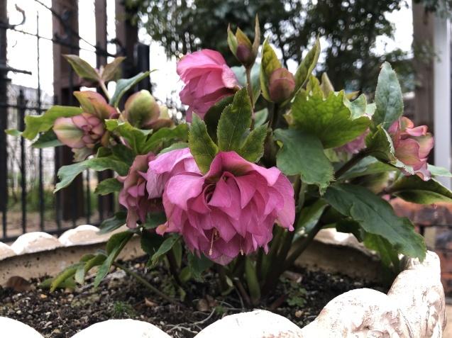 「沈丁花」「「姫リュウキンカ」「ヒヤシンス」植えっぱなしで春の訪れを教えてくれます_a0243064_08201196.jpg