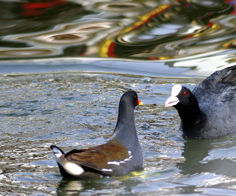 水鳥のコラボ_e0254493_1152237.jpg