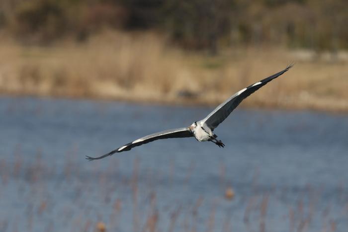 MFの城沼にてアオサギの飛翔を撮る_f0239515_17103529.jpg