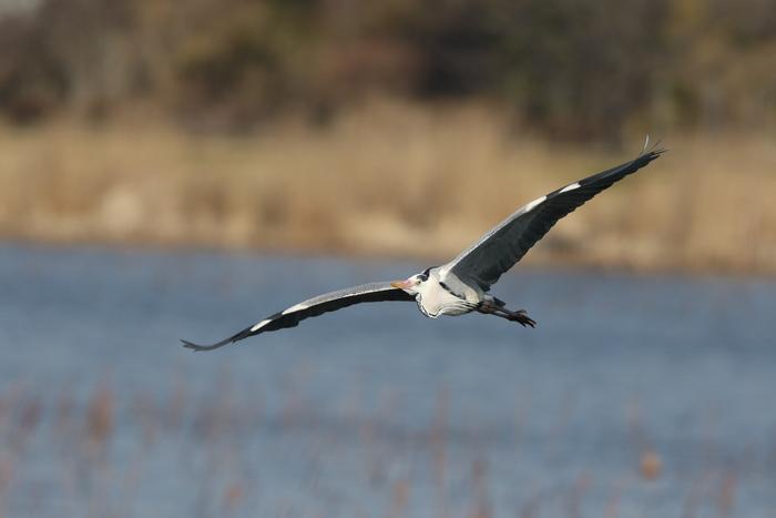 MFの城沼にてアオサギの飛翔を撮る_f0239515_17105939.jpg