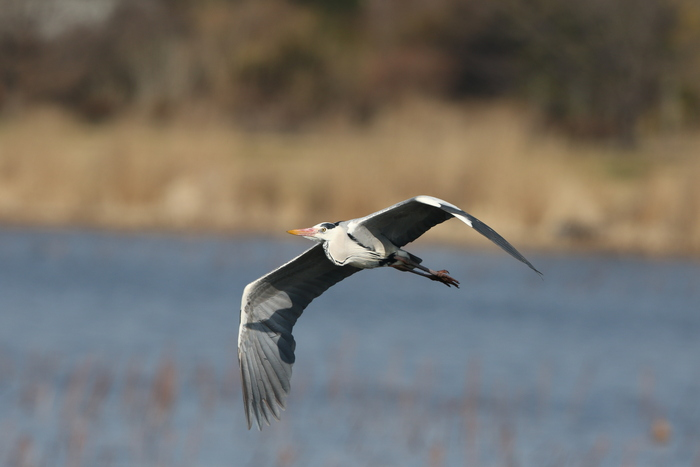 MFの城沼にてアオサギの飛翔を撮る_f0239515_17112245.jpg