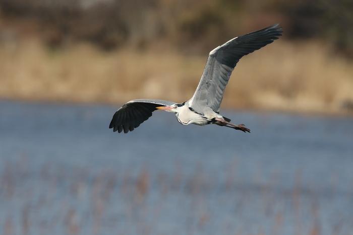 MFの城沼にてアオサギの飛翔を撮る_f0239515_17115112.jpg