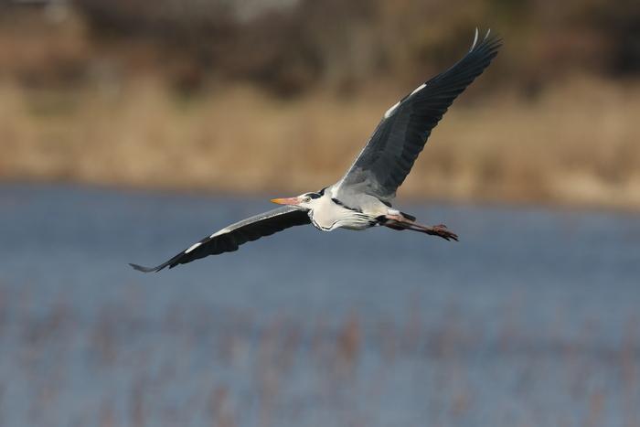 MFの城沼にてアオサギの飛翔を撮る_f0239515_17121724.jpg