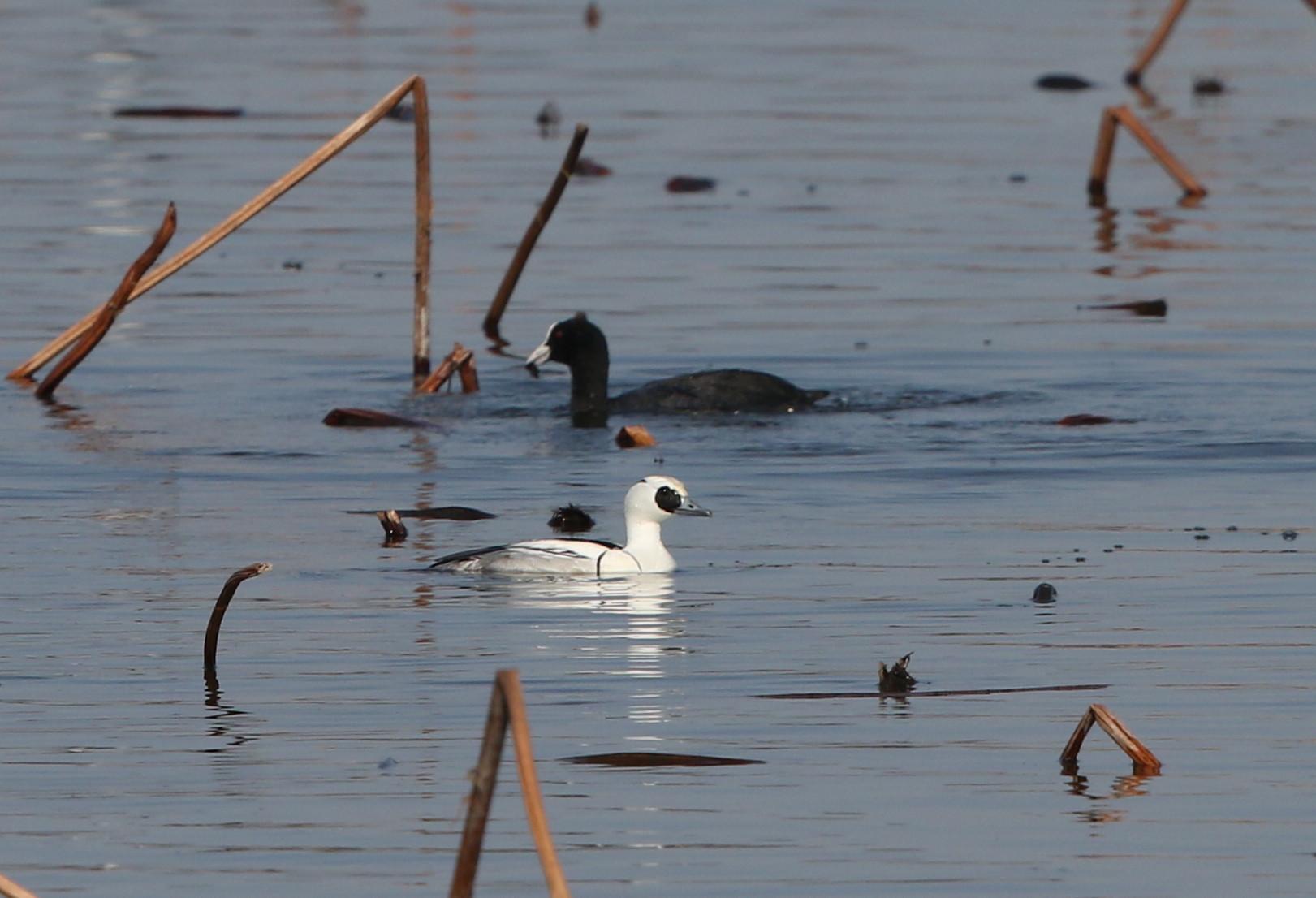 MFの沼で冬鳥(ミコアイサ・カンムリカイツブリを撮る)_f0239515_1811124.jpg