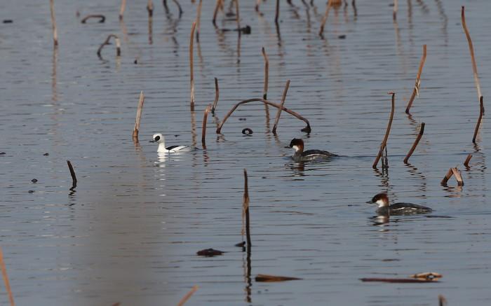 MFの沼で冬鳥(ミコアイサ・カンムリカイツブリを撮る)_f0239515_18113797.jpg