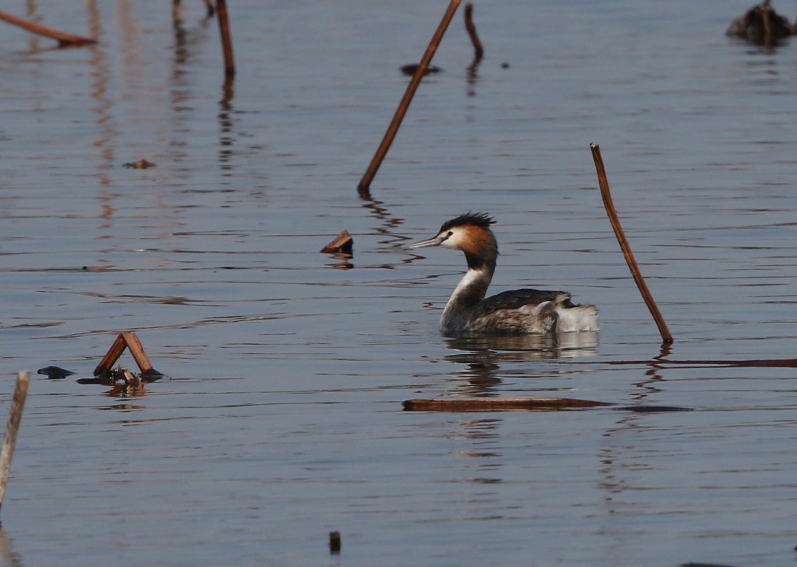 MFの沼で冬鳥(ミコアイサ・カンムリカイツブリを撮る)_f0239515_18131732.jpg