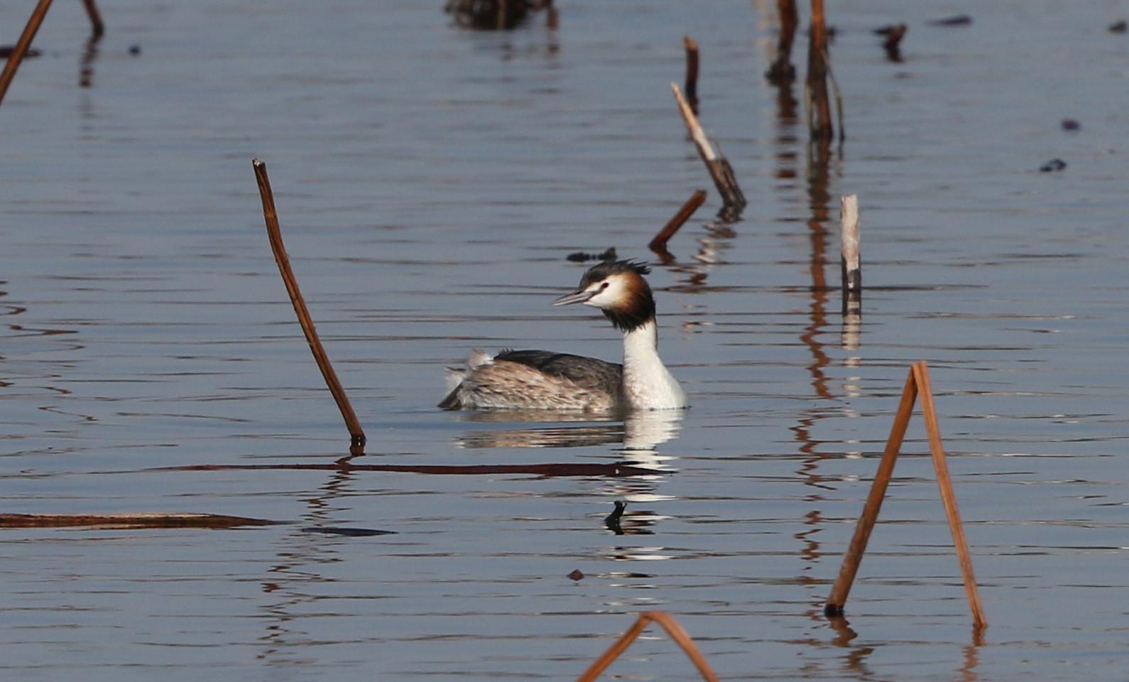 MFの沼で冬鳥(ミコアイサ・カンムリカイツブリを撮る)_f0239515_1813529.jpg