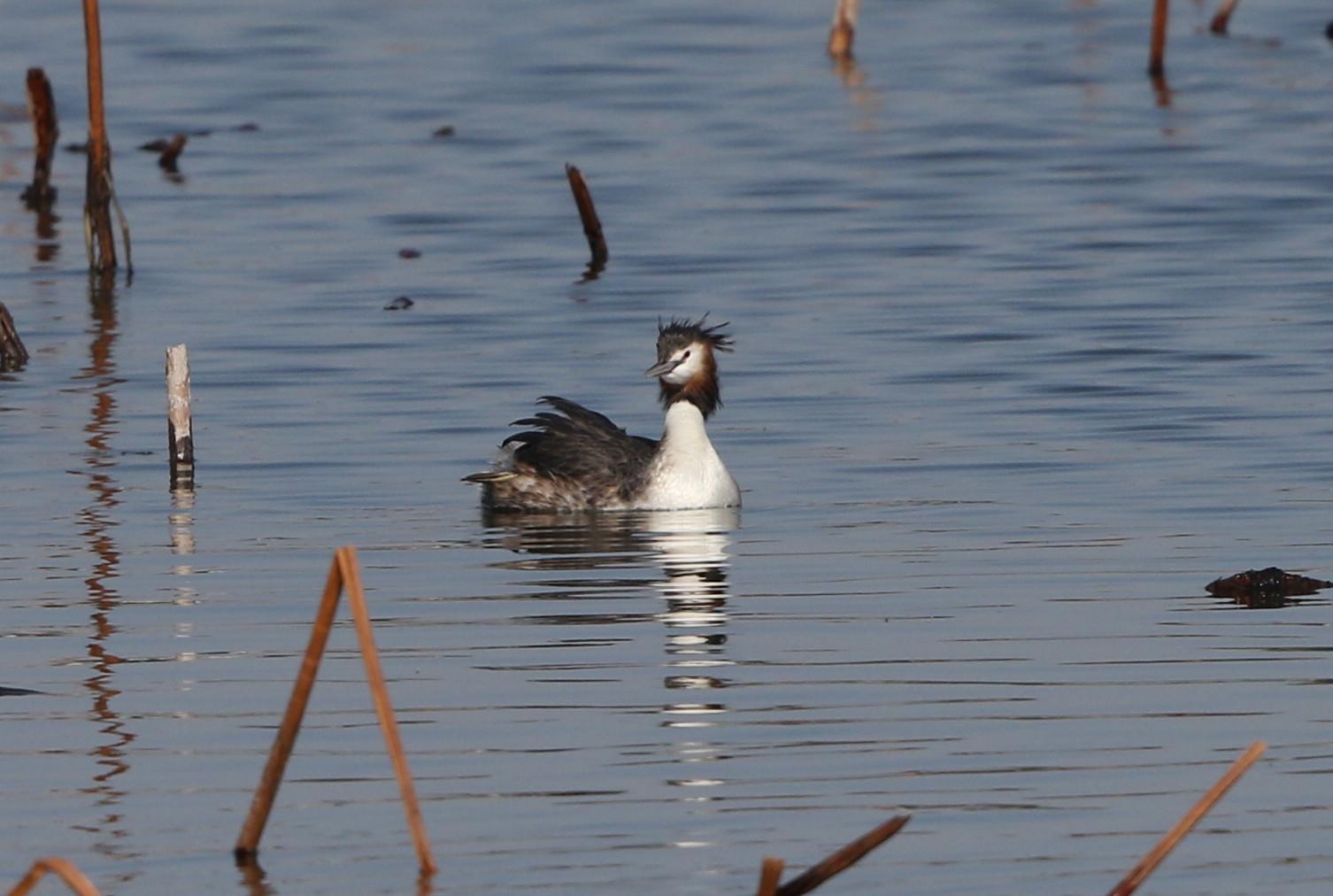 MFの沼で冬鳥(ミコアイサ・カンムリカイツブリを撮る)_f0239515_1814178.jpg